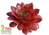 Chick Charms Cherry Berry Sempervivum Leaves
