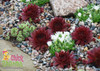 Chick Charms Cherry Berry Sempervivum in Landscaping
