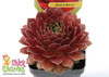 Chick Charms Cherry Berry Sempervivum in a Pot