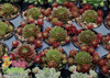 Several Chick Charms Cherry Berry Sempervivum in Pots