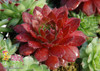 Red Chick Charms Cherry Berry Sempervivum