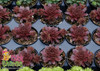 Chick Charms Chocolate Kiss Sempervivum in Pots