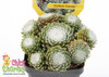 Chick Charms Cotton Candy Sempervivum With White Centers