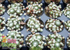 Chick Charms Cotton Candy Sempervivum in Pots