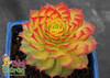Chick Charms Gold Nugget Sempervivum Hens and Chicks