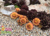 Chick Charms Gold Nugget Sempervivum in Rock Garden