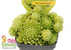 Small Chick Charms Key Lime Sempervivum in Pot