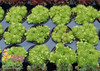 Chick Charms Key Lime Sempervivum in Pots