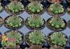 Chick Charms Mint Marvel Sempervivum in Pots