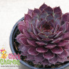 Chick Charms Plum Parfait Sempervivum Main