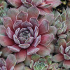 Chick Charms Silver Suede Sempervivum Main