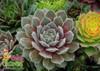 Chick Charms Silver Suede Sempervivum Succulent