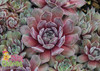 Chick Charms Silver Suede Sempervivum Hens and Chicks