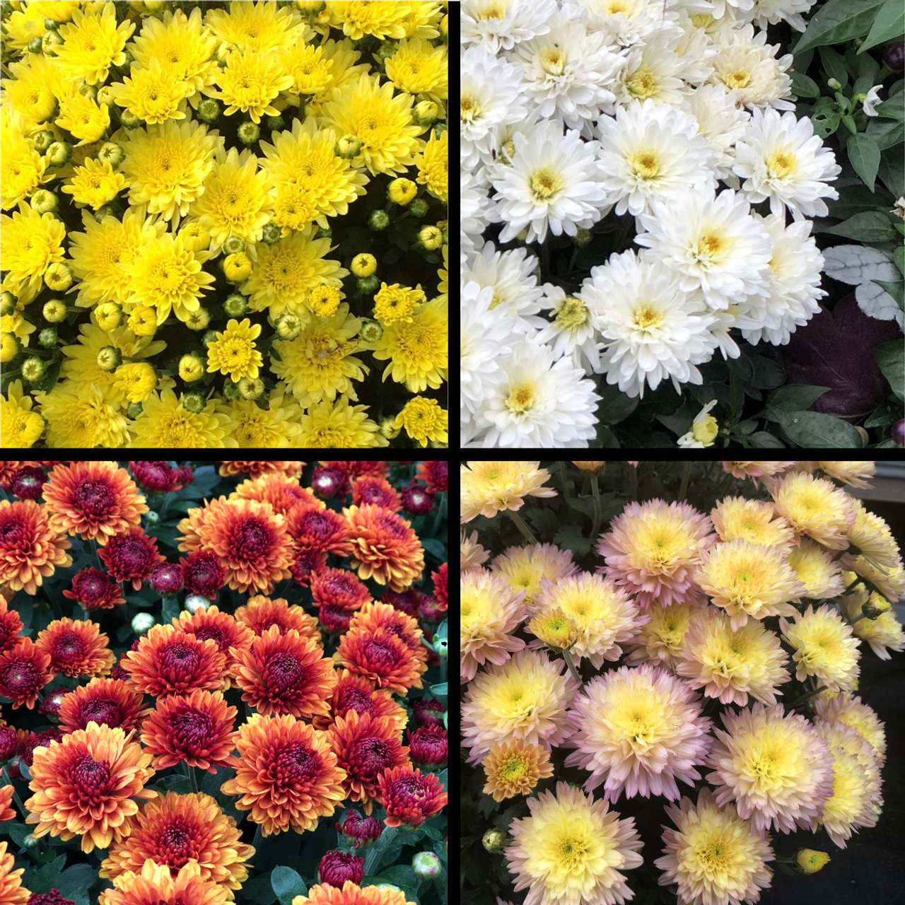 Garden Mums Plant Addicts