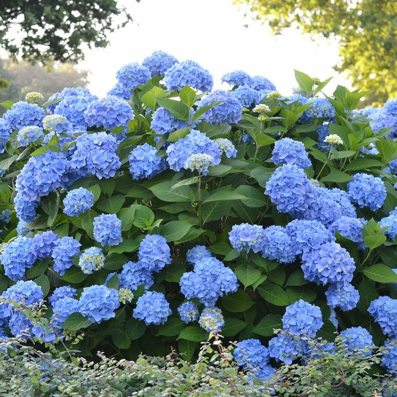 Endless Summer The Original Hydrangea Plantaddicts Com