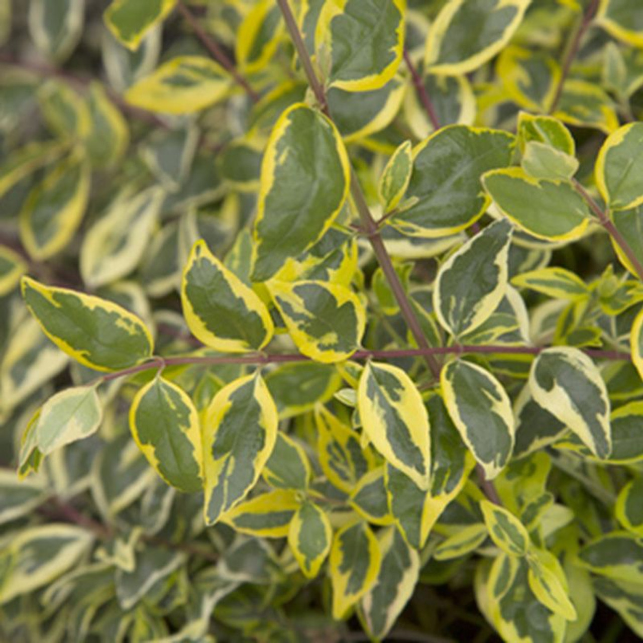Miss Lemon Abelia Plantaddictscom