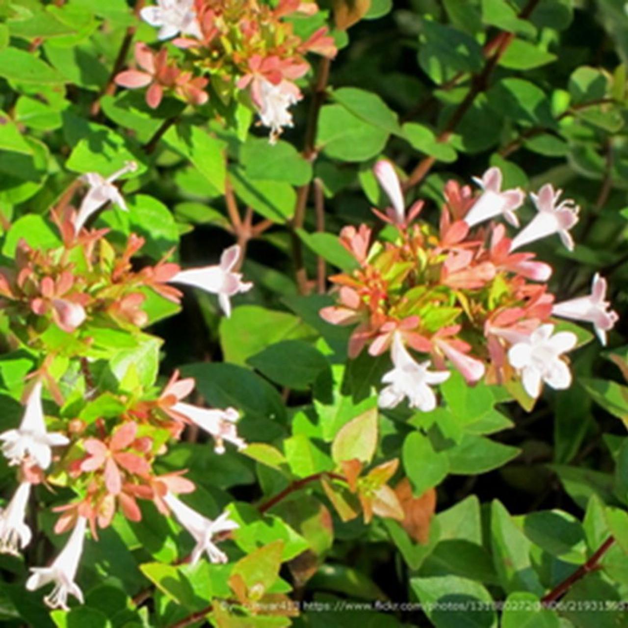 Rose Creek Abelia Plantaddictscom