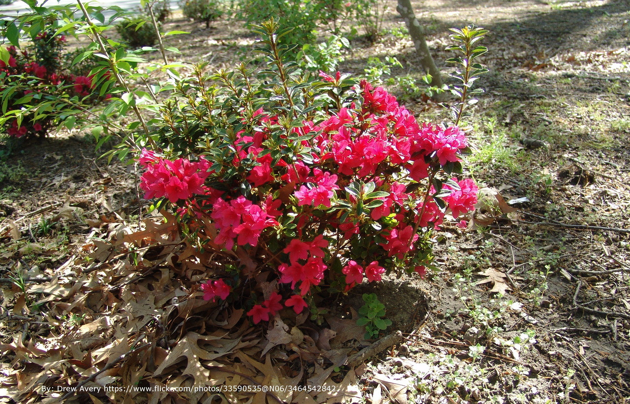 Autumn Ruby Encore Azalea Plantaddicts Com