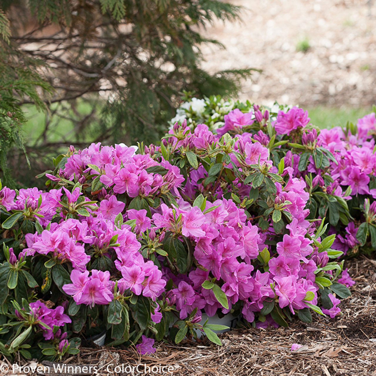 Bloom A Thon Lavender Azalea Shrubs Plant Addicts