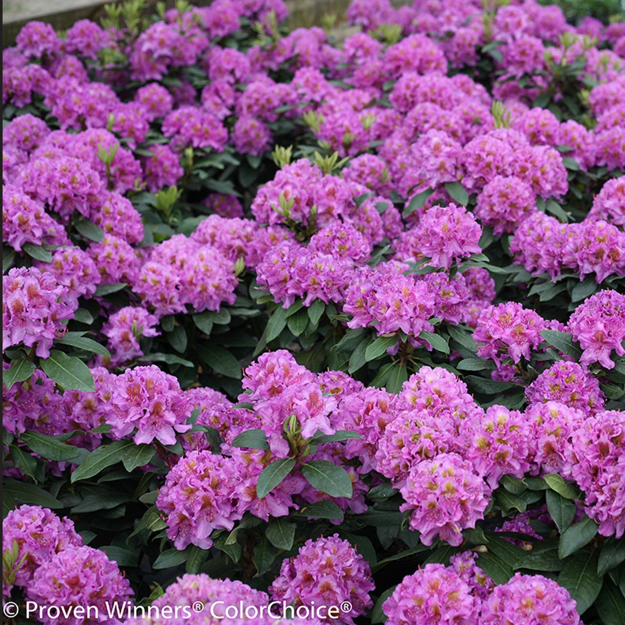 Dandy Man Purple Rhododendron Shrubs Plant Addicts