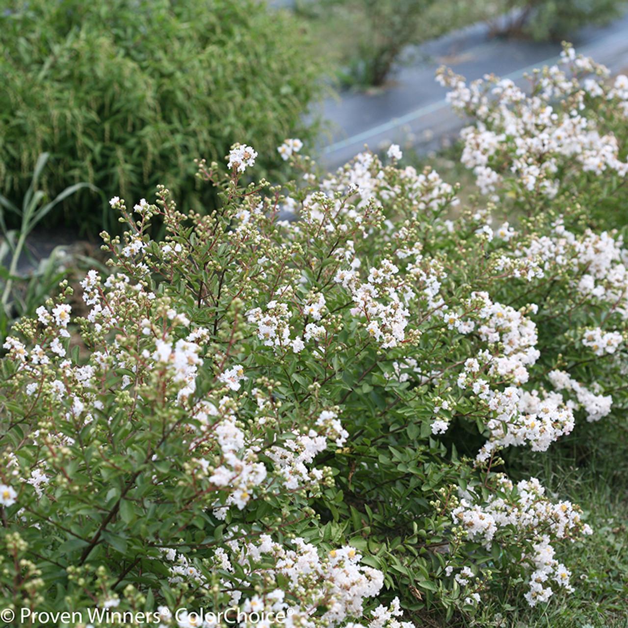 Infinitini White Crape Myrtle Shrubs Plant Addicts