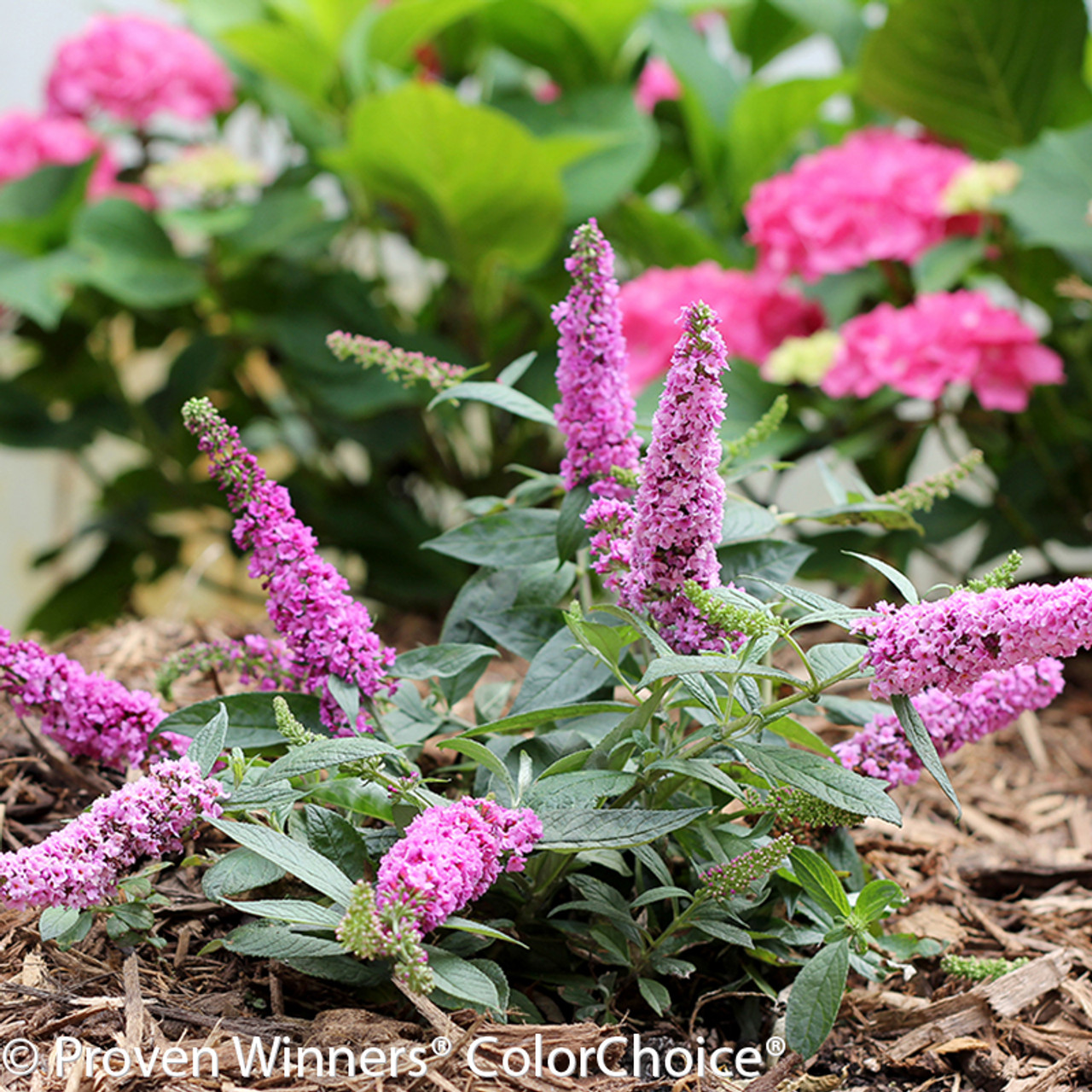Lo And Behold Pink Micro Chip Butterfly Bush Plant Addicts