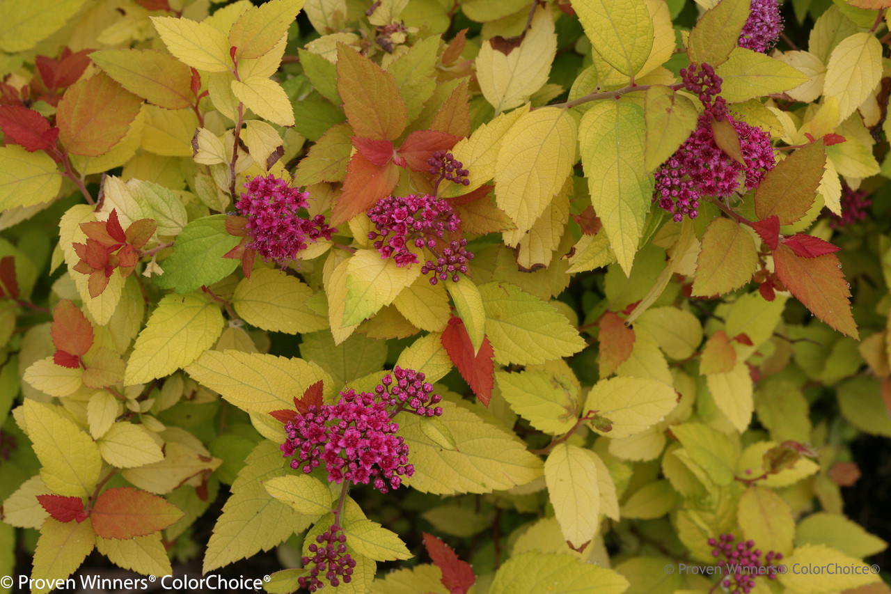 Double Play Candy Corn Spirea Plant Addicts