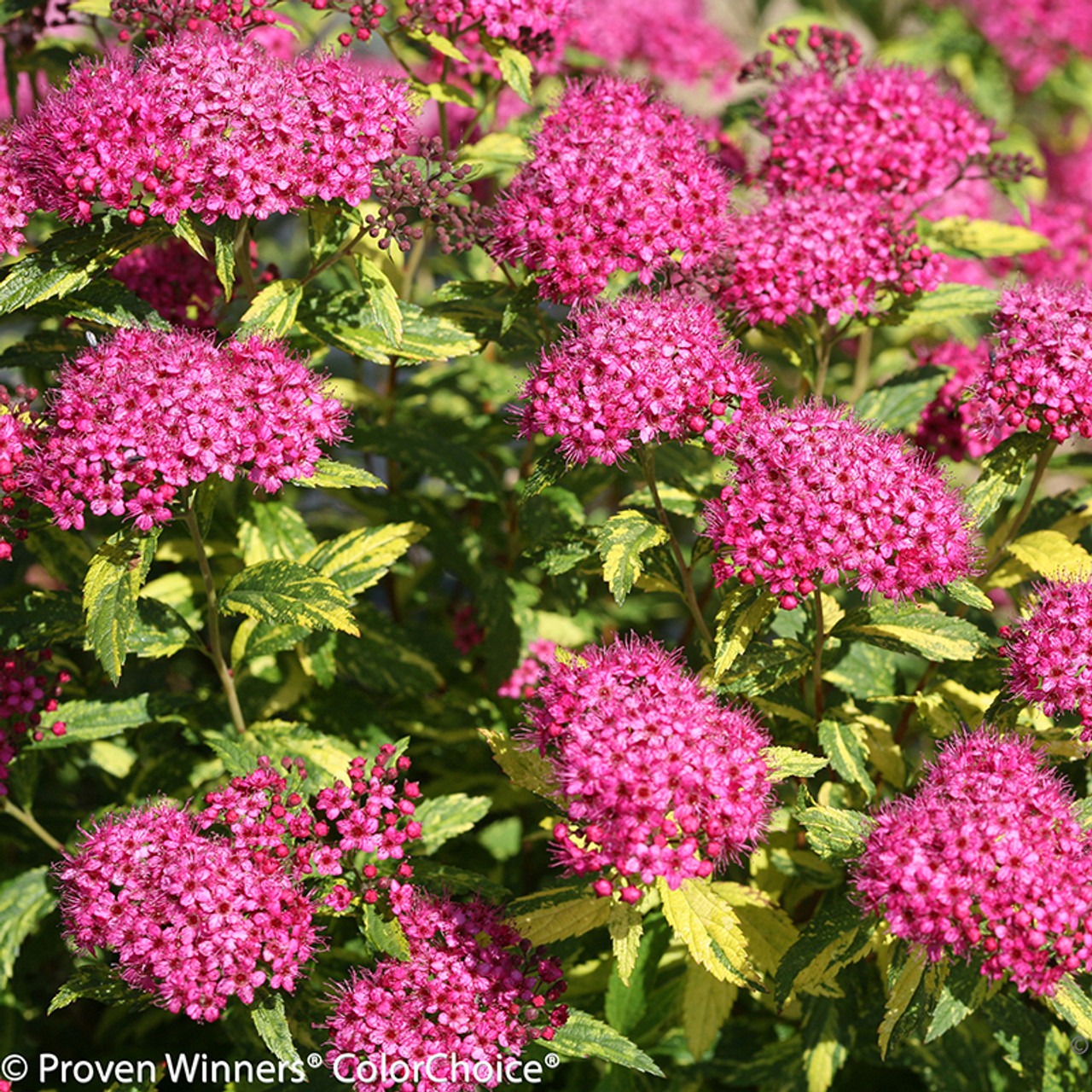 Double Play Painted Lady Spirea Plant Addicts