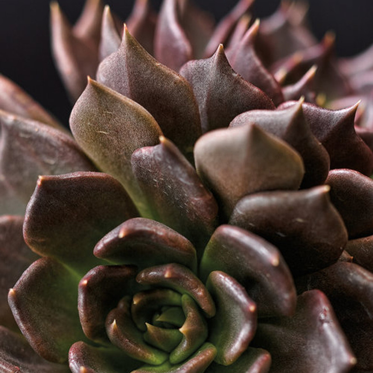 Black Prince Echeveria Succulent Plant Addicts