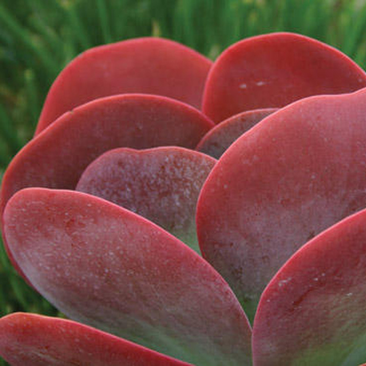 Flapjack Kalanchoe Succulent Plant Addicts