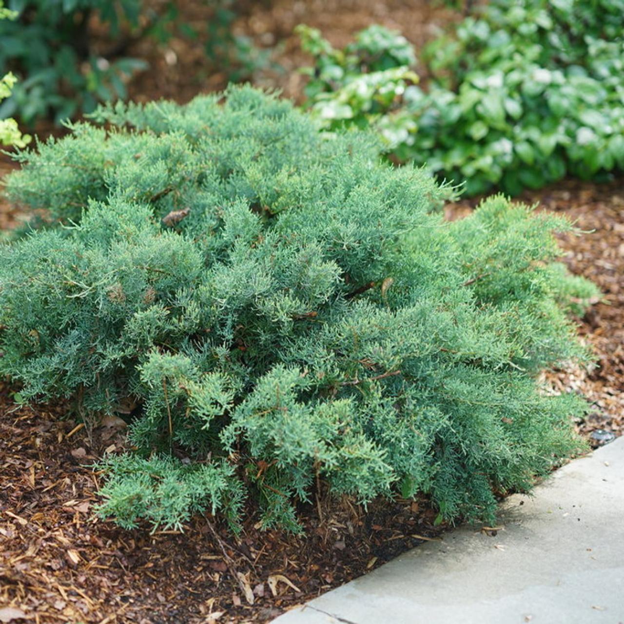 Montana Moss Juniper Plant Addicts