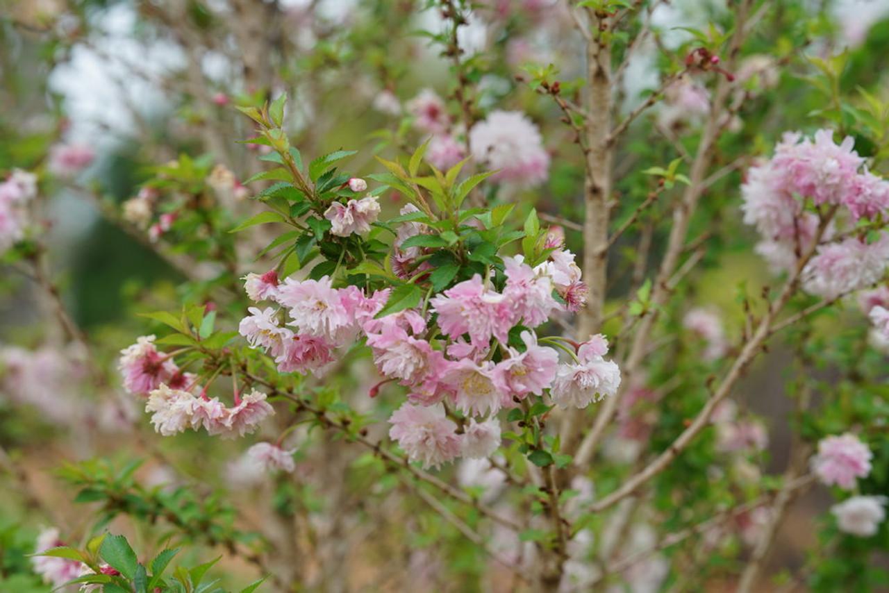 Zuzu Ornamental Cherry Plant Addicts