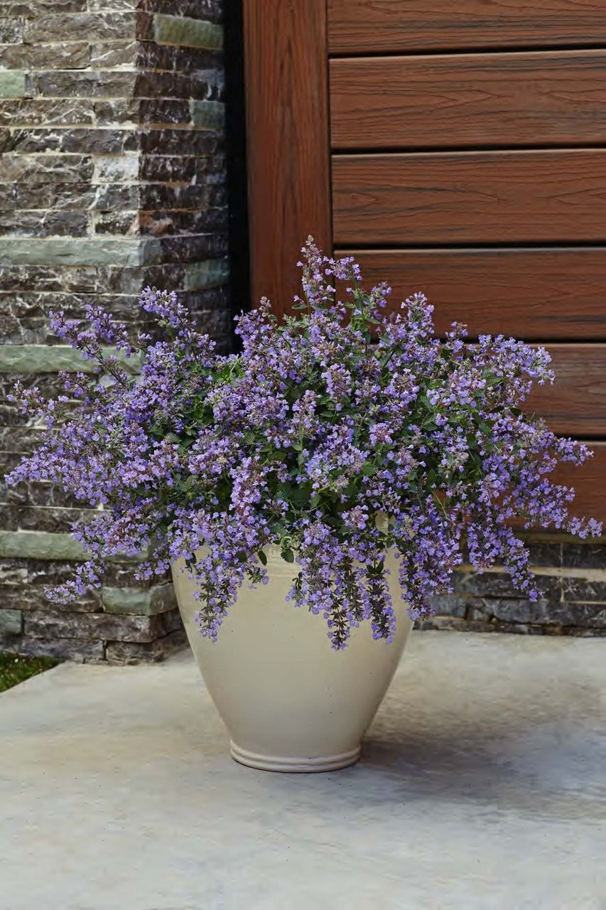 Cat S Meow Catmint Plant Addicts
