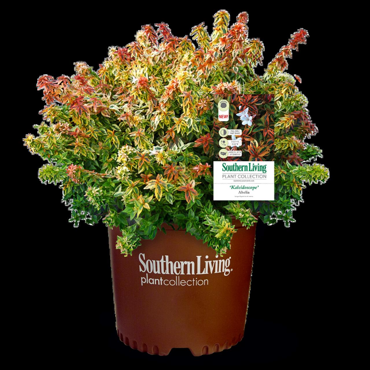 Kaleidoscope Abelia Plantaddictscom