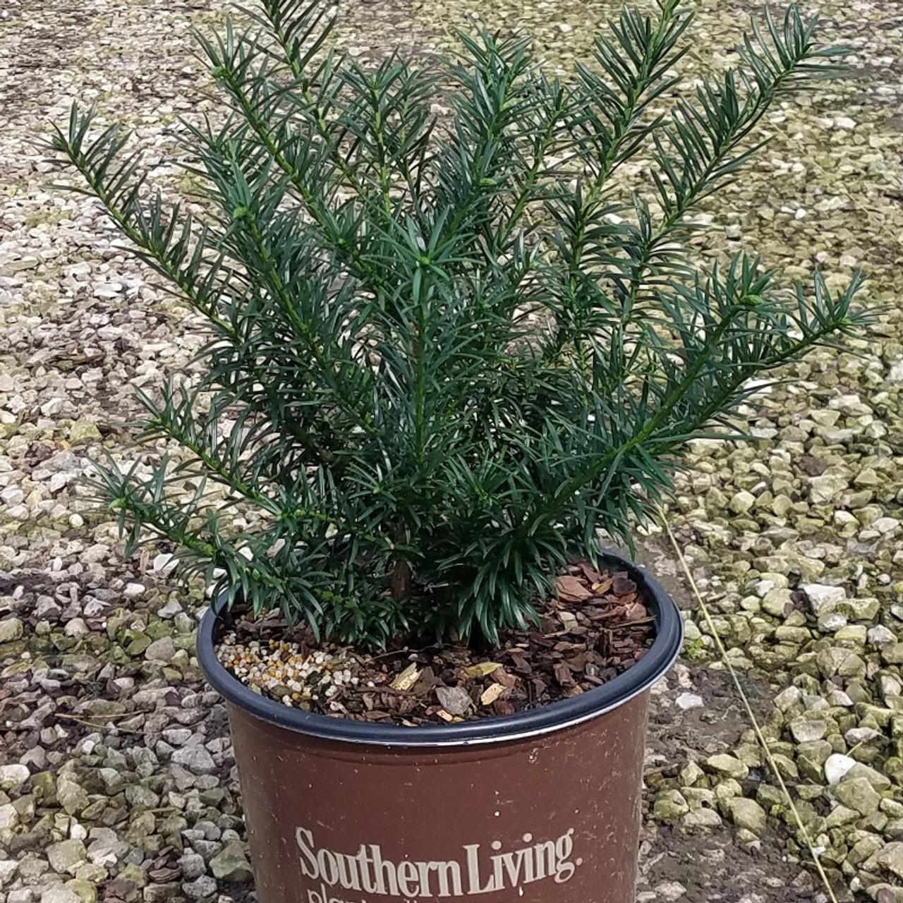 Spreading Japanese Plum Yew Plantaddicts Com