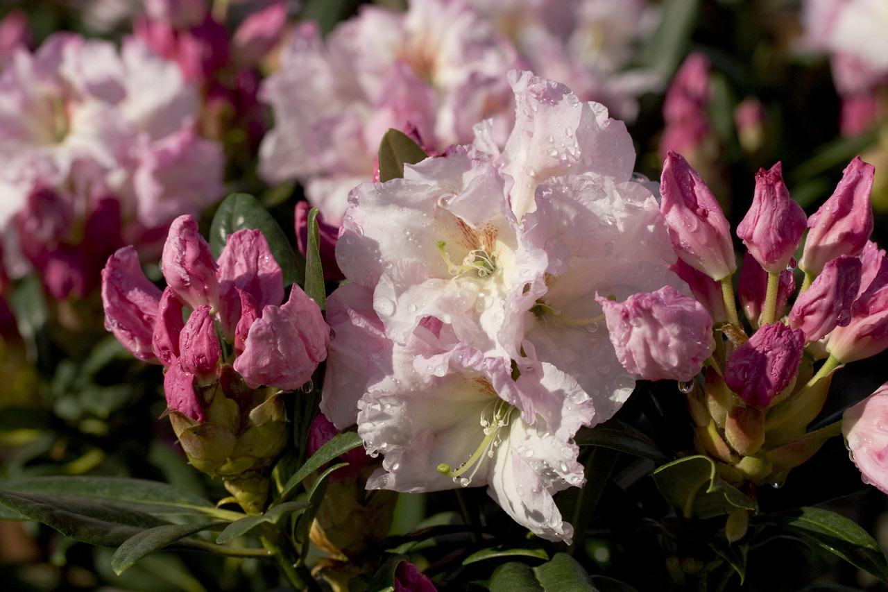 Southgate Breeze Rhododendron Plantaddicts Com