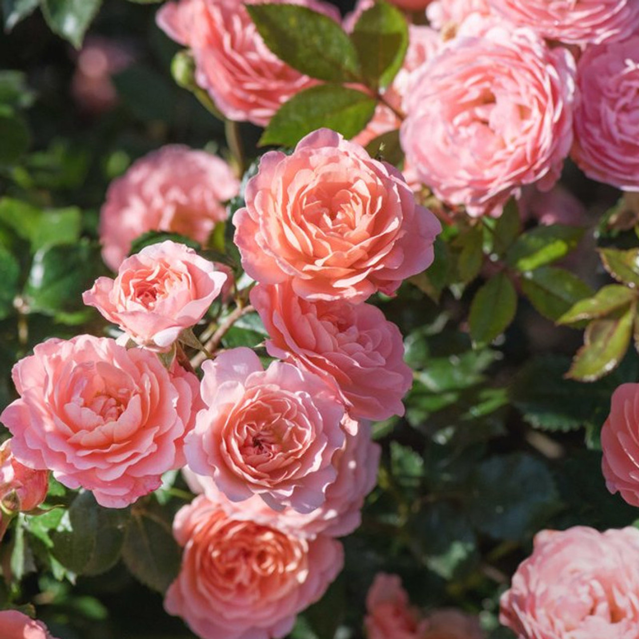 Apricot Drift Groundcover Rose Plantaddicts Com