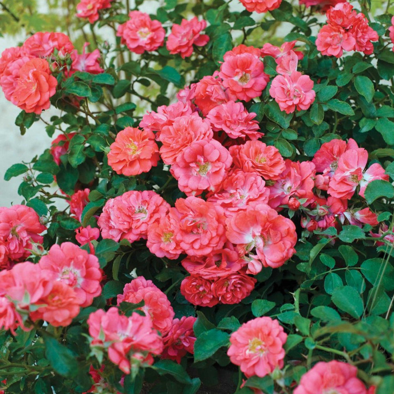Coral Drift Groundcover Rose Plantaddicts Com