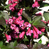Shining Sensation Weigela
