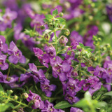 Angelface Cascade Blue Summer Snapdragon Flowers and Foliage