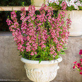 Angelface Perfectly Pink Summer Snapdragon as the Thriller