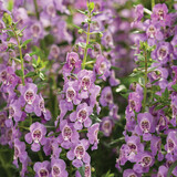 Angelface Steel Blue Summer Snapdragon Flowers and Flower Buds