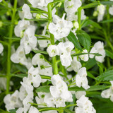 Angelface Super White Summer Snapdragon Flowers and Foliage