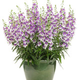Angelface Wedgwood Blue Summer Snapdragon Plant Flowering in Pot
