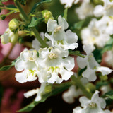 Angelface White Summer Snapdragon Flower Petals