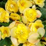 Double Delight Primrose Begonia Flowers