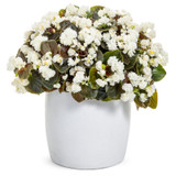 Double Up White Begonia Plant Blooming in Garden Planter