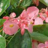 Dragon Wing Pink Begonia Flowers and Foliage