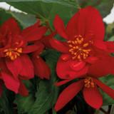 Funky® Red Begonia flowers