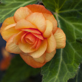 Illumination® Apricot Shades Begonia Flower Petals
